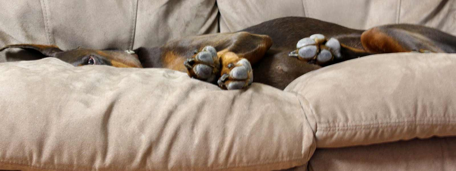 doberman pinscher asleep