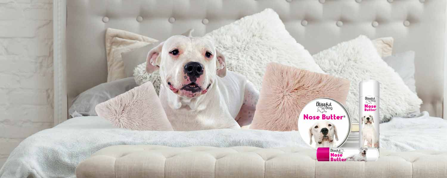 dogo argentino on bed