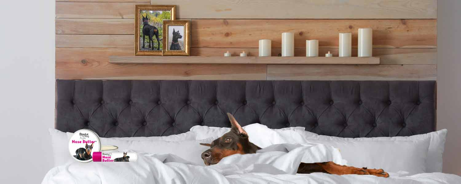 doberman pinscher in bed