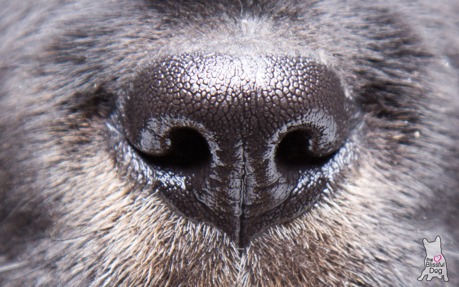 healthy-dog-nose