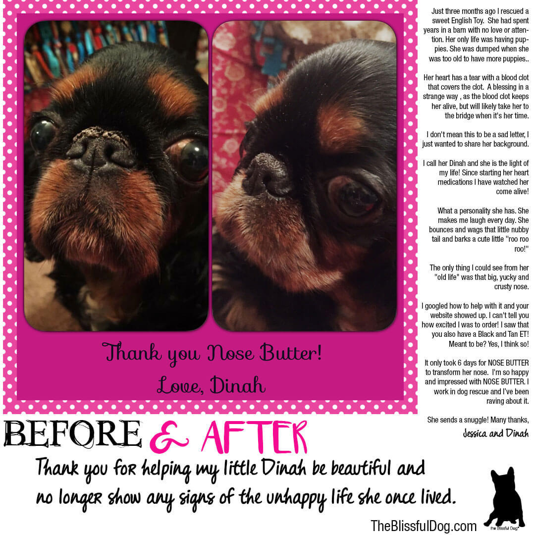english toy spaniel before and after nose butter dinah