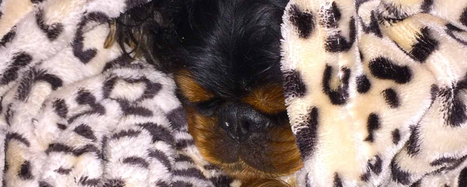 English toy spaniel in leopard blanket