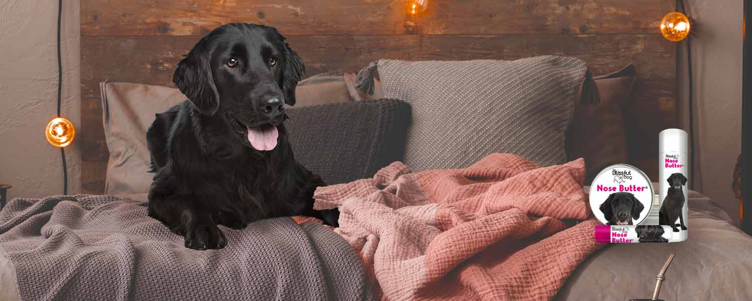 Flat-coated retriever in bed