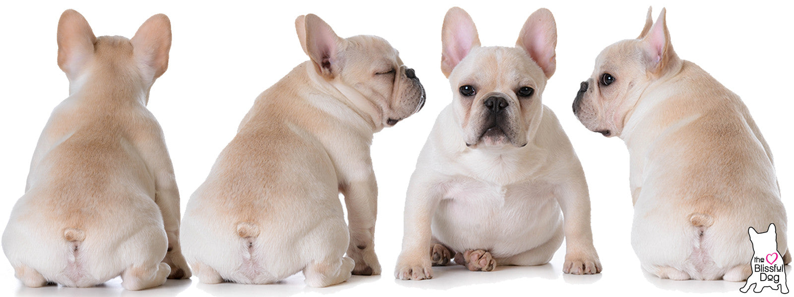 cream frenchie puppies