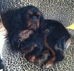 english toy spaniel black and tan