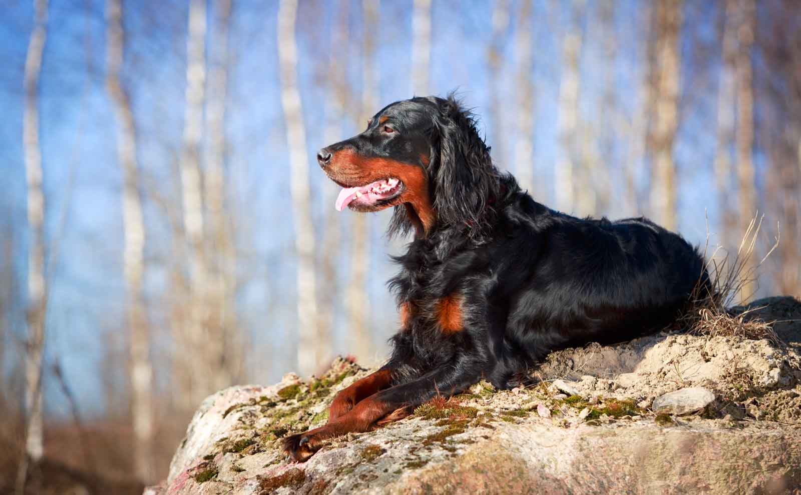 gordon setter in forest