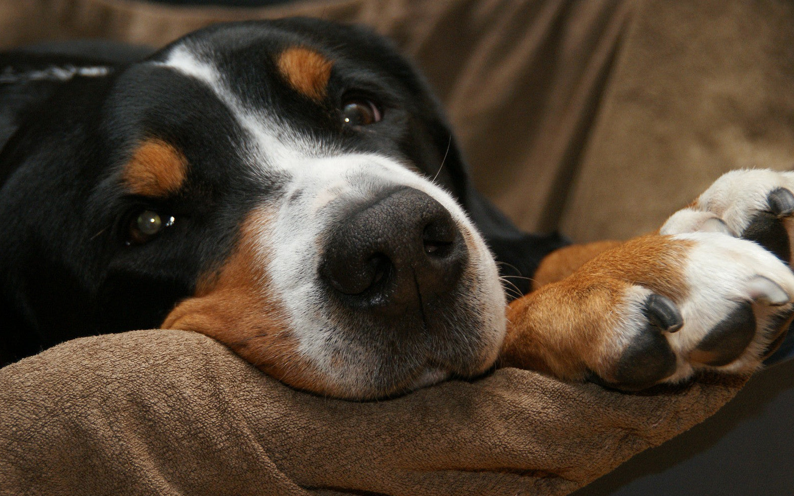 Greater Swiss Mountain Dog Afraid