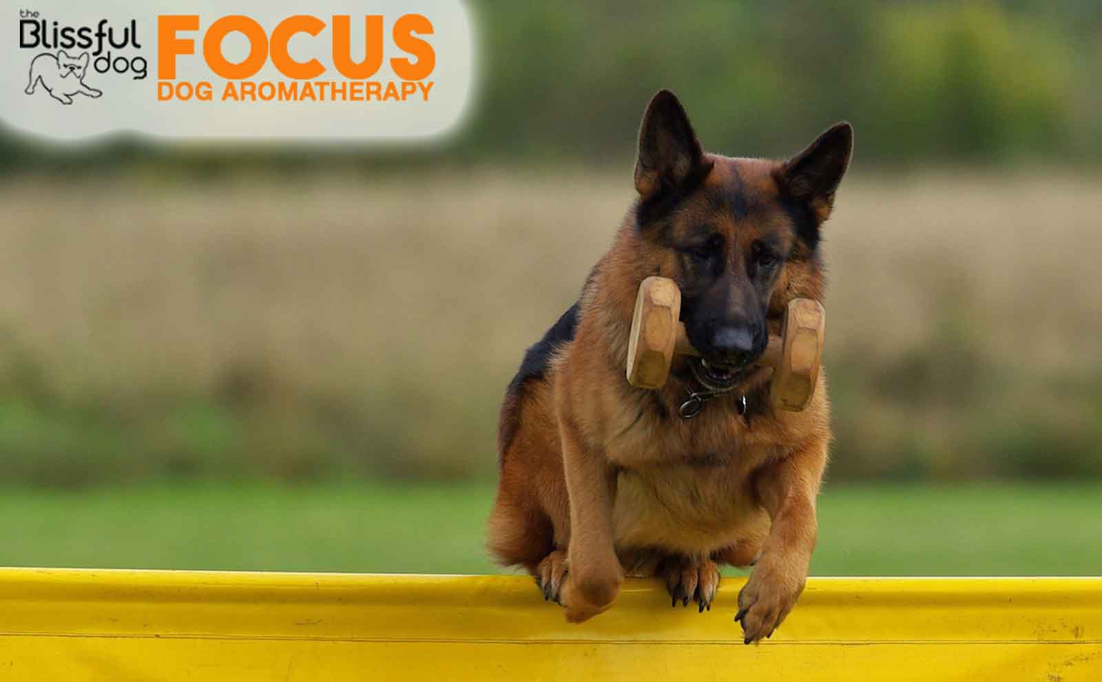 German shepherd obedience