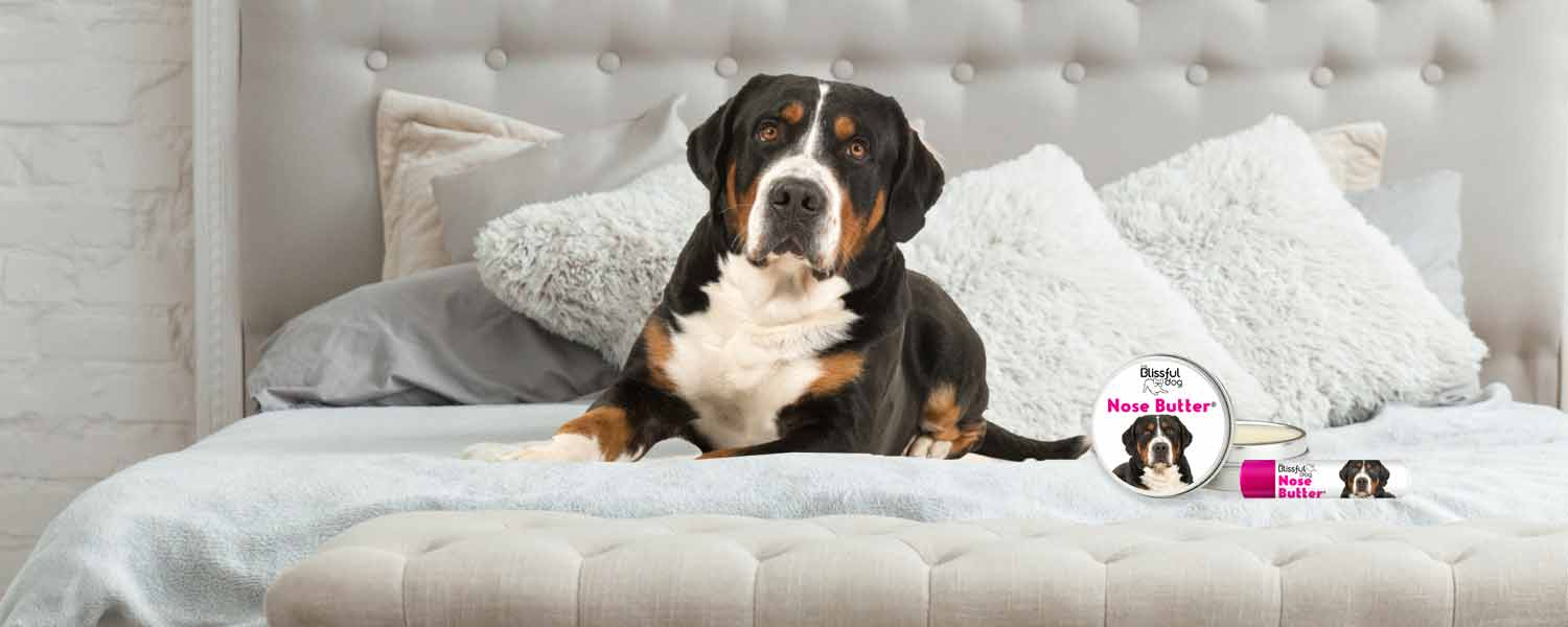greater swiss mountain dog in bed
