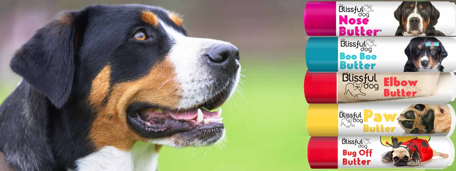 greater swiss mountain dog care