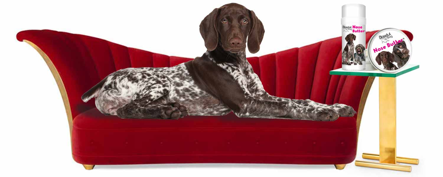 German shorthaired pointer on sofa