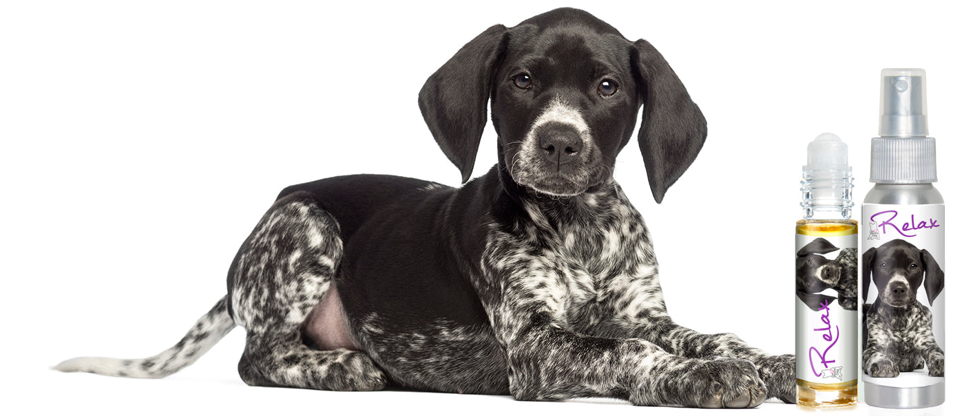 german shorthaired puppy afraid