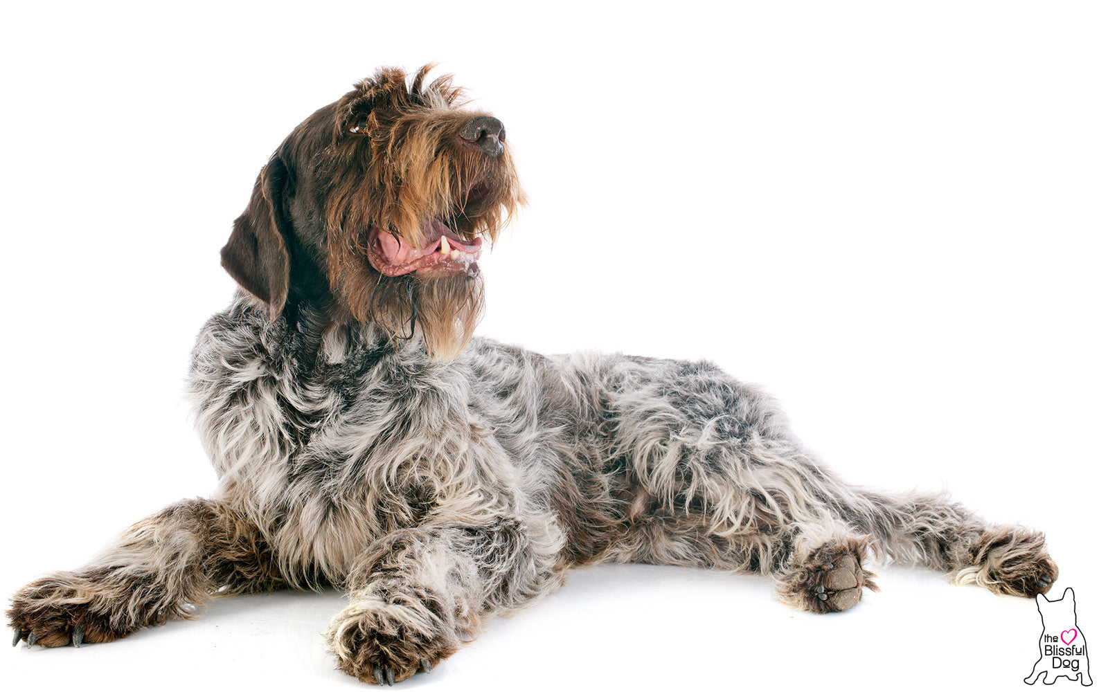 German-Wirehair-Pointer