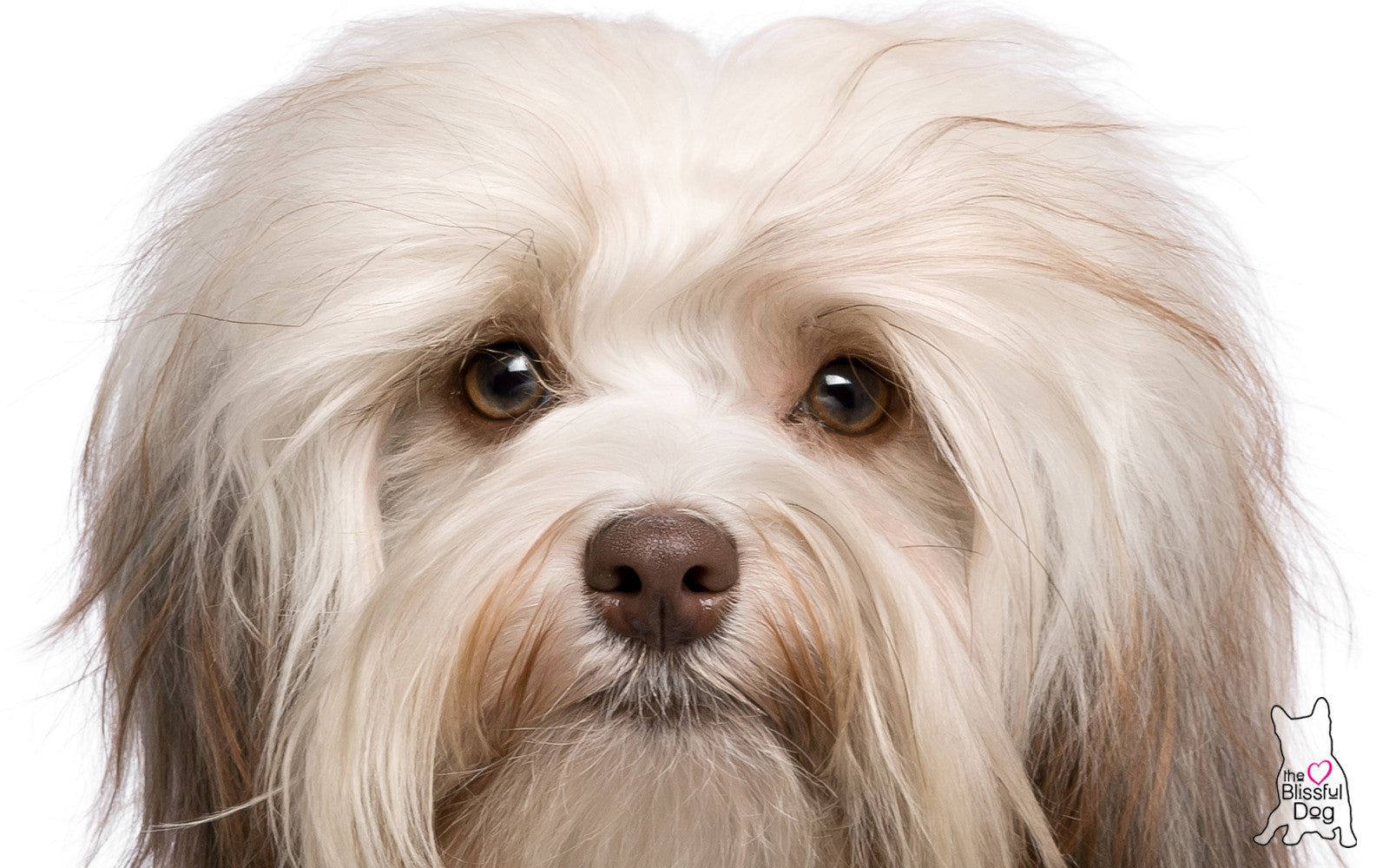 HAVANESE DOG CLOSEUP