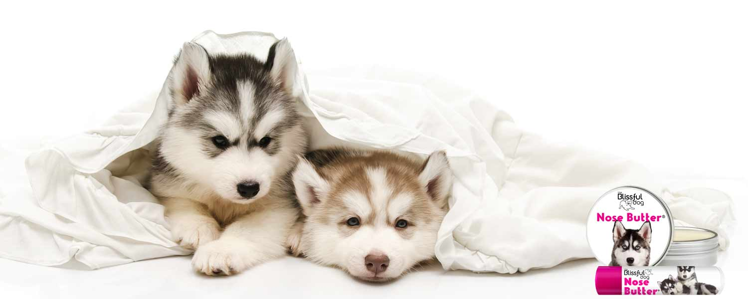 husky puppies in bed