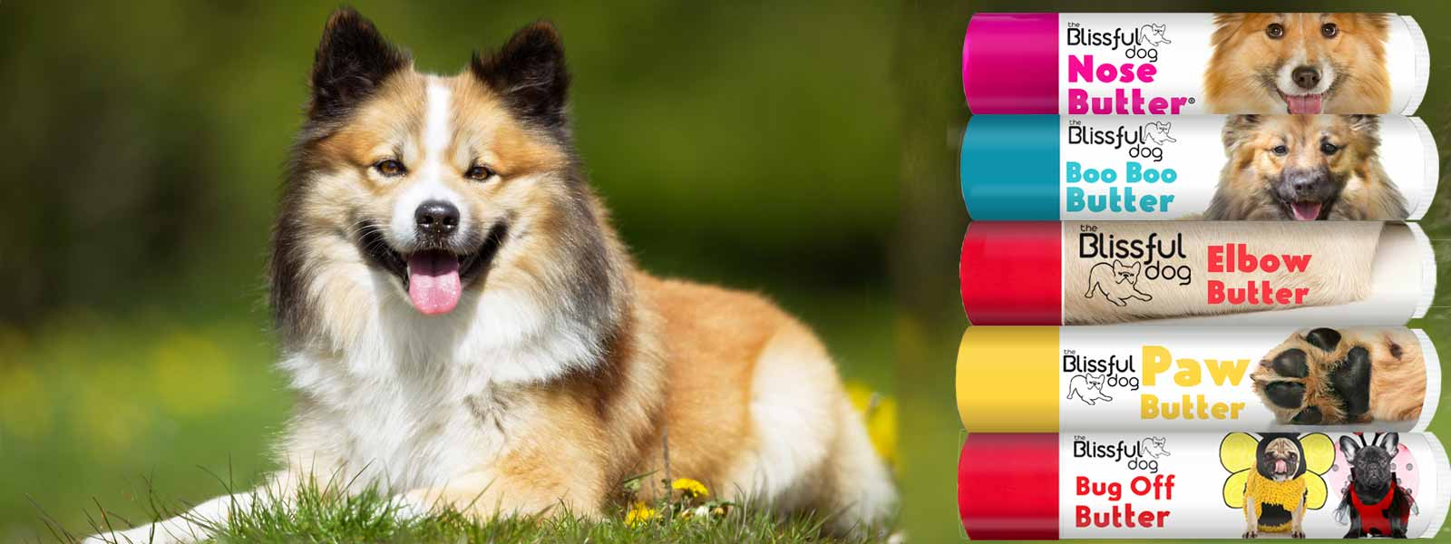 Icelandic Sheepdog care