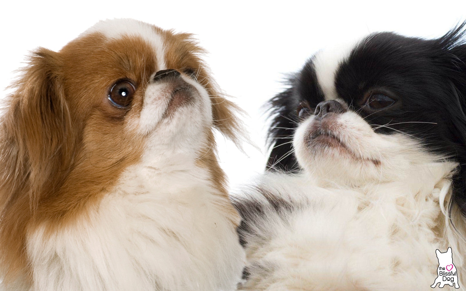 Japanese Chin Colors