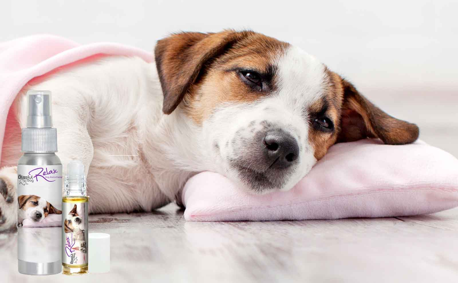 parson russell terrier scared