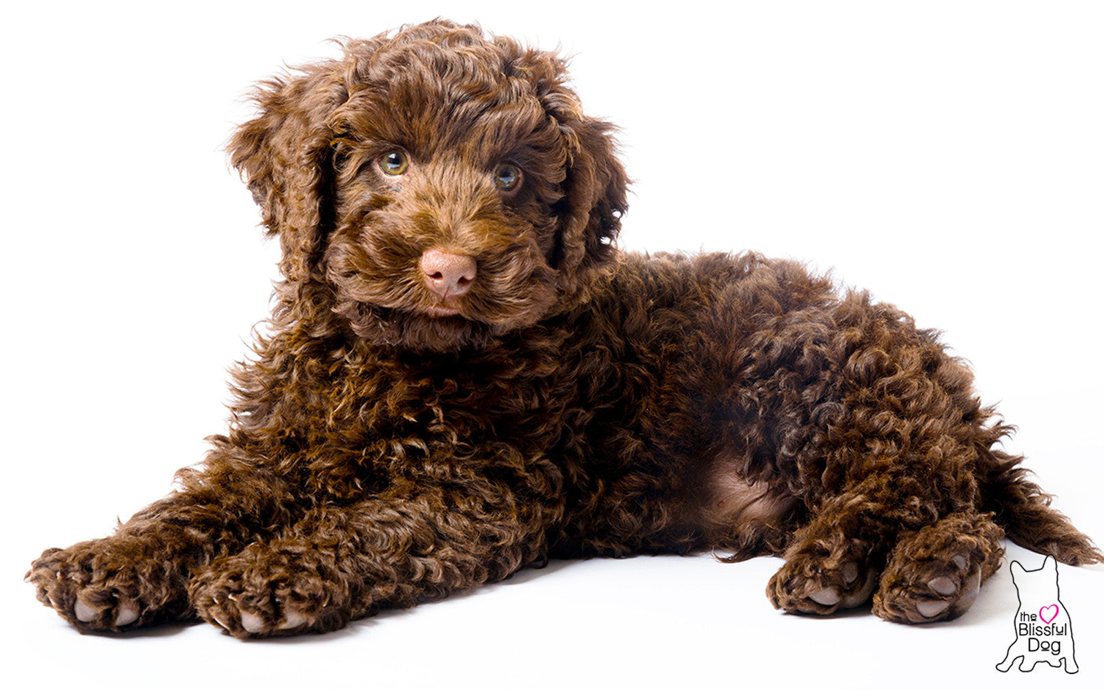 labradoodle gift ideas