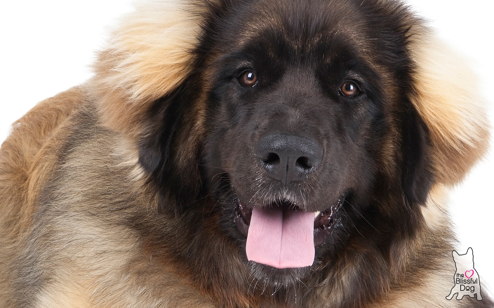 LEONBERGER DOG RELAX AROMATHERAPY