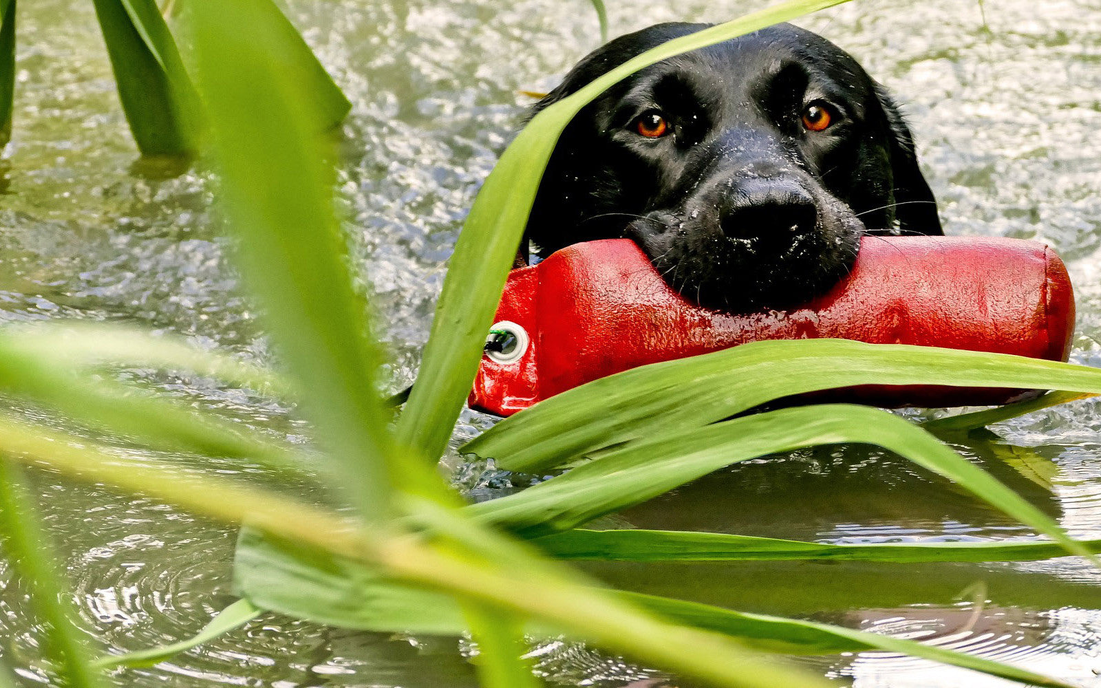 labrador retriever focus
