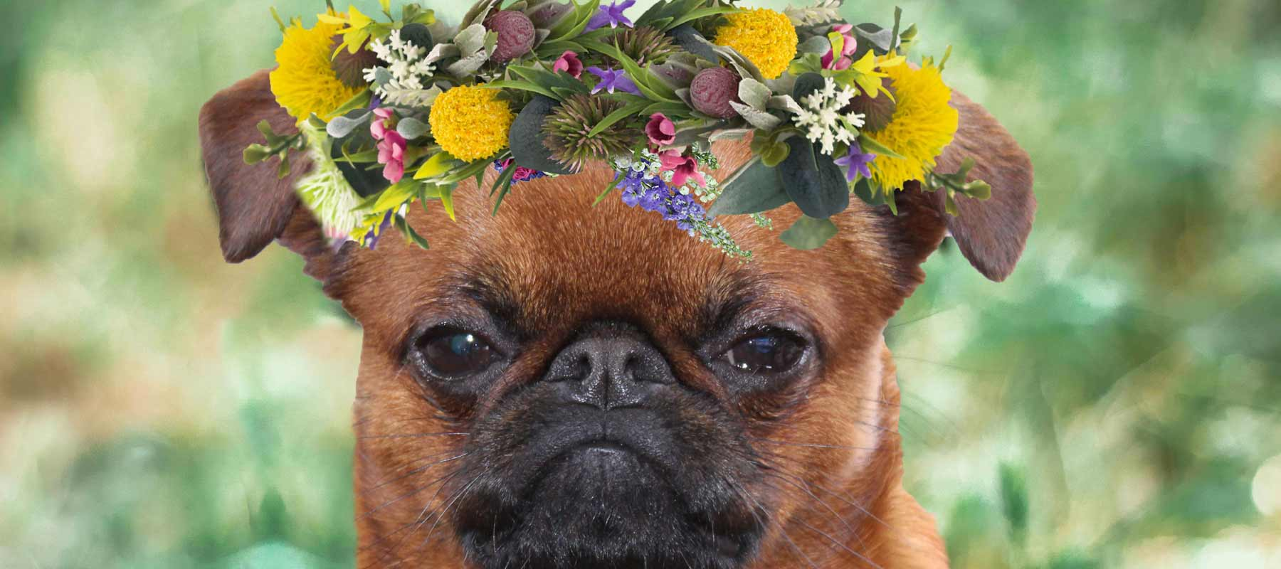 smooth Brussels Griffon flower crown