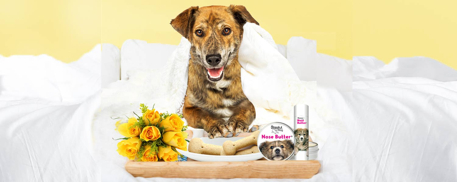 mixed breed dog has breakfast in bed