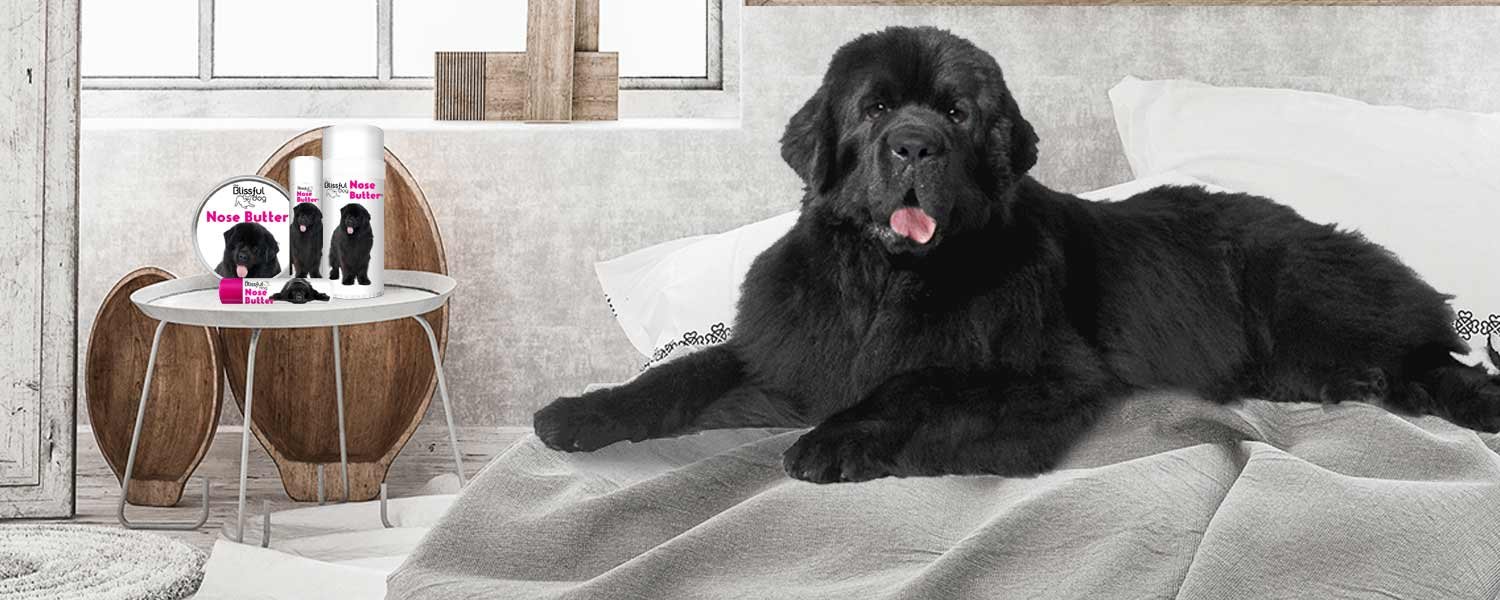 Newfoundland dog has dry nose