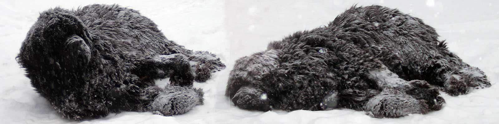 Newfoundland dog in snow