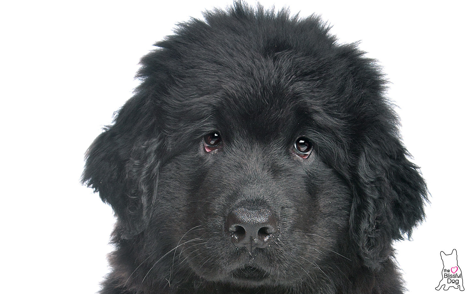 NEWFOUNDLAND DOG PUPPY