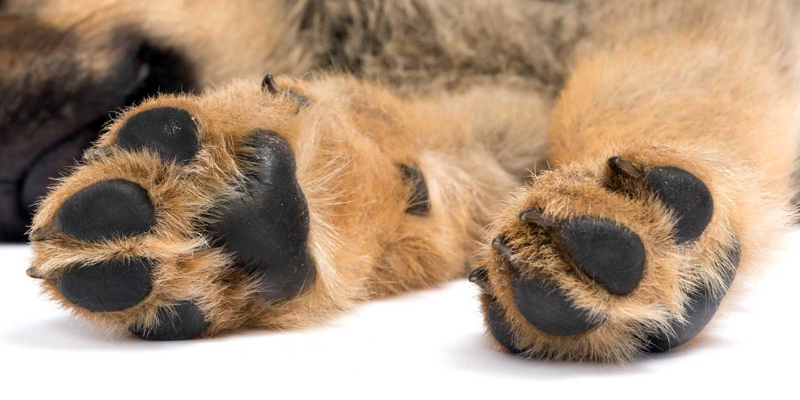 healthy puppy paws