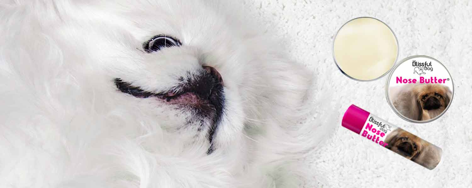 pekingese has dry nose