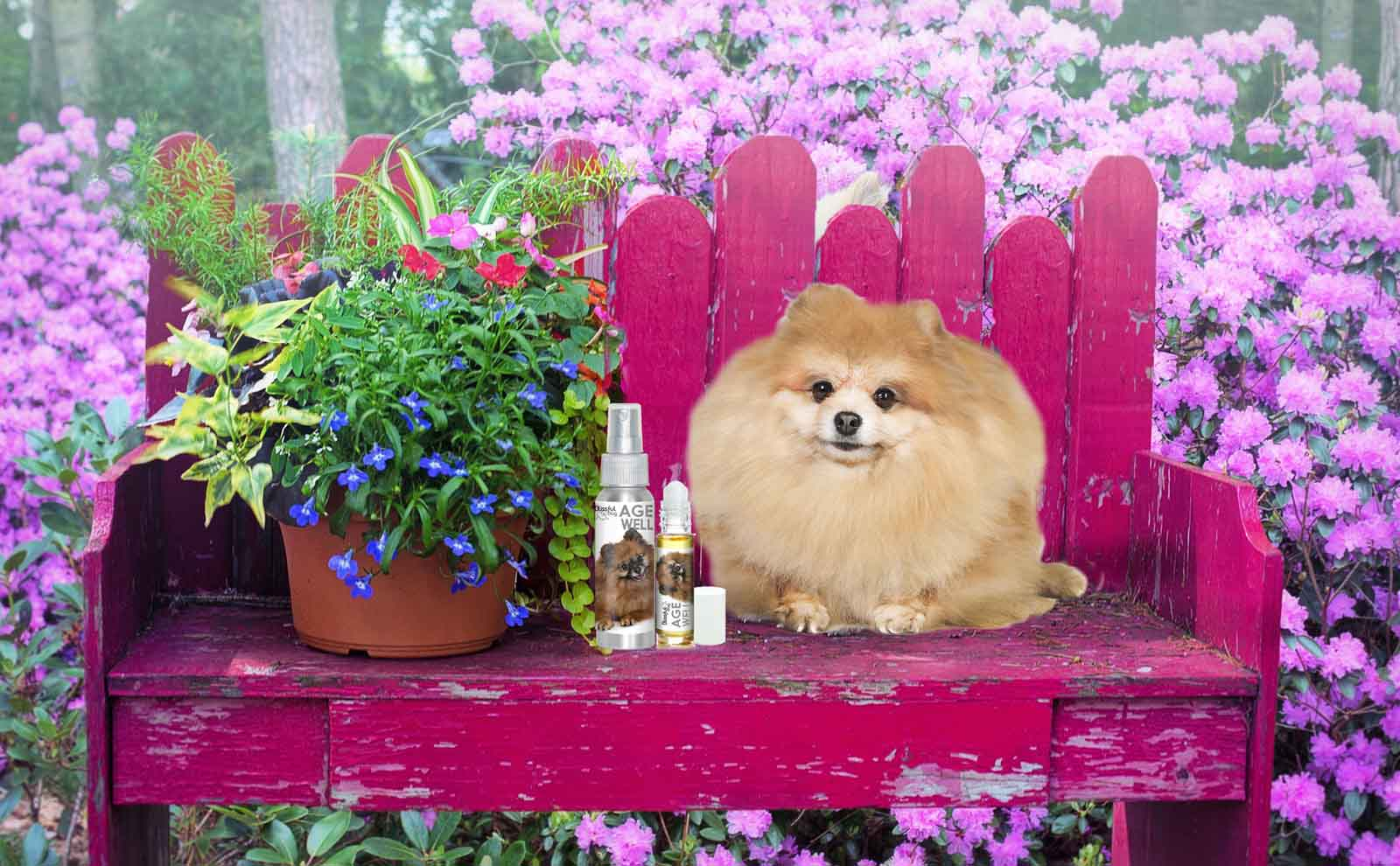 pomeranian senior care
