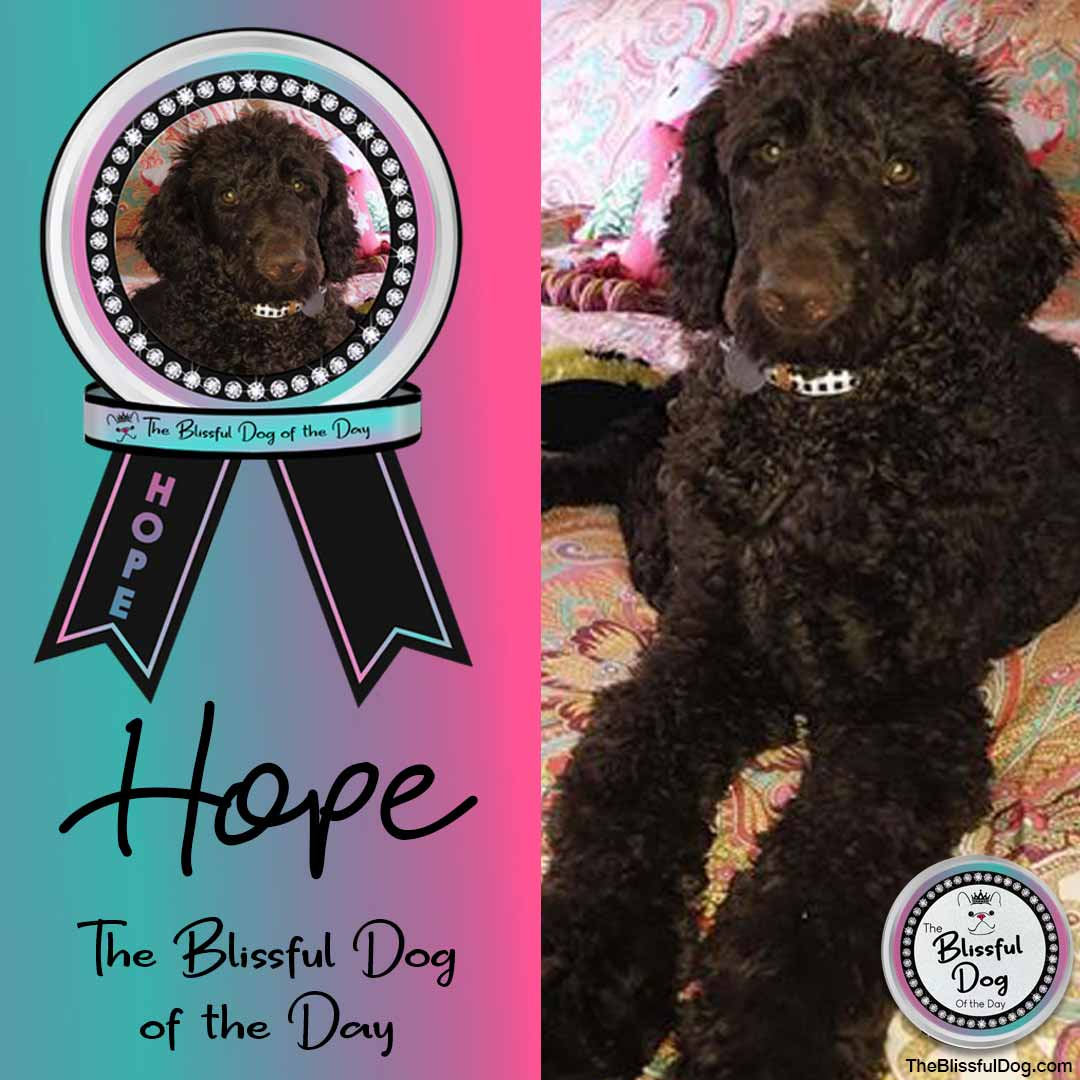 hope standard poodle blissful dog of the day