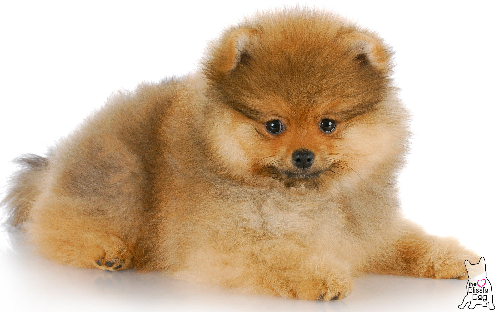 Pomeranian puppy sable