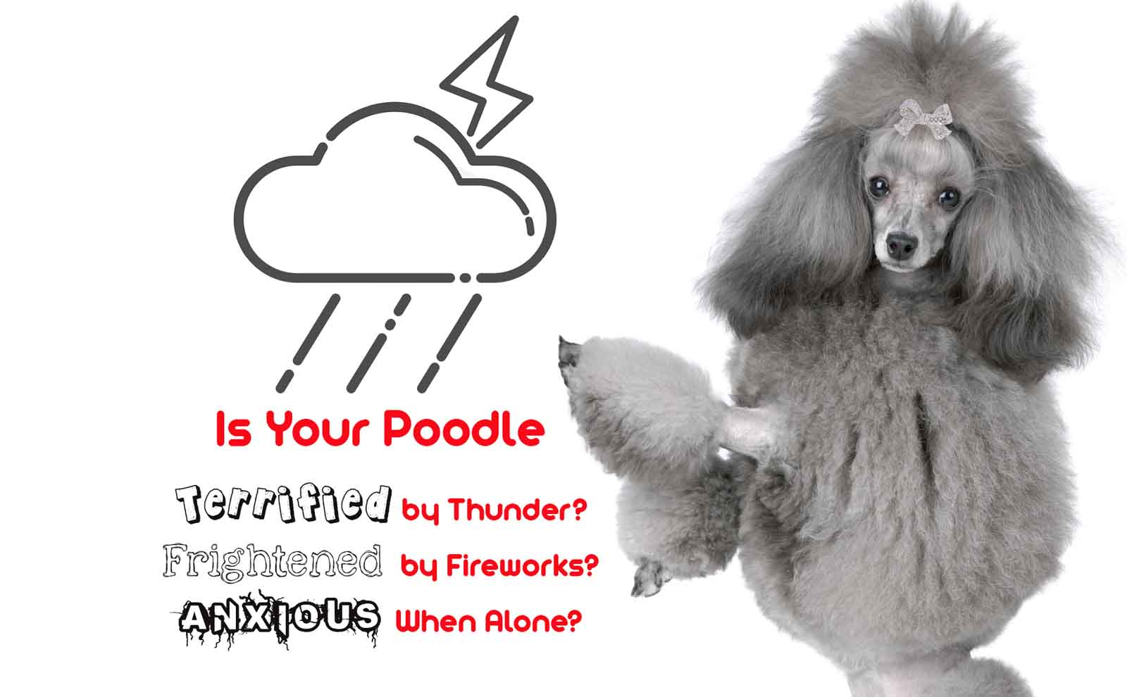 poodle anxious