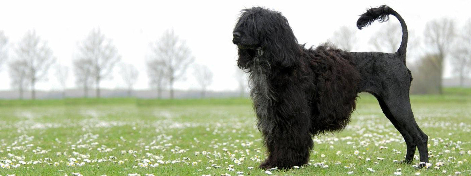 portuguese water dog lion cut