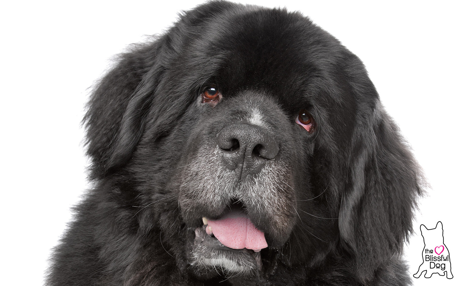 senior newfoundland dog