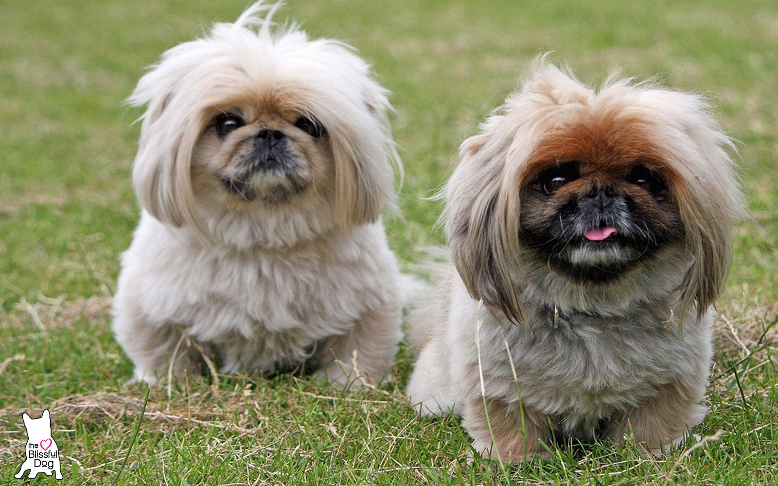 senior pekingese dog