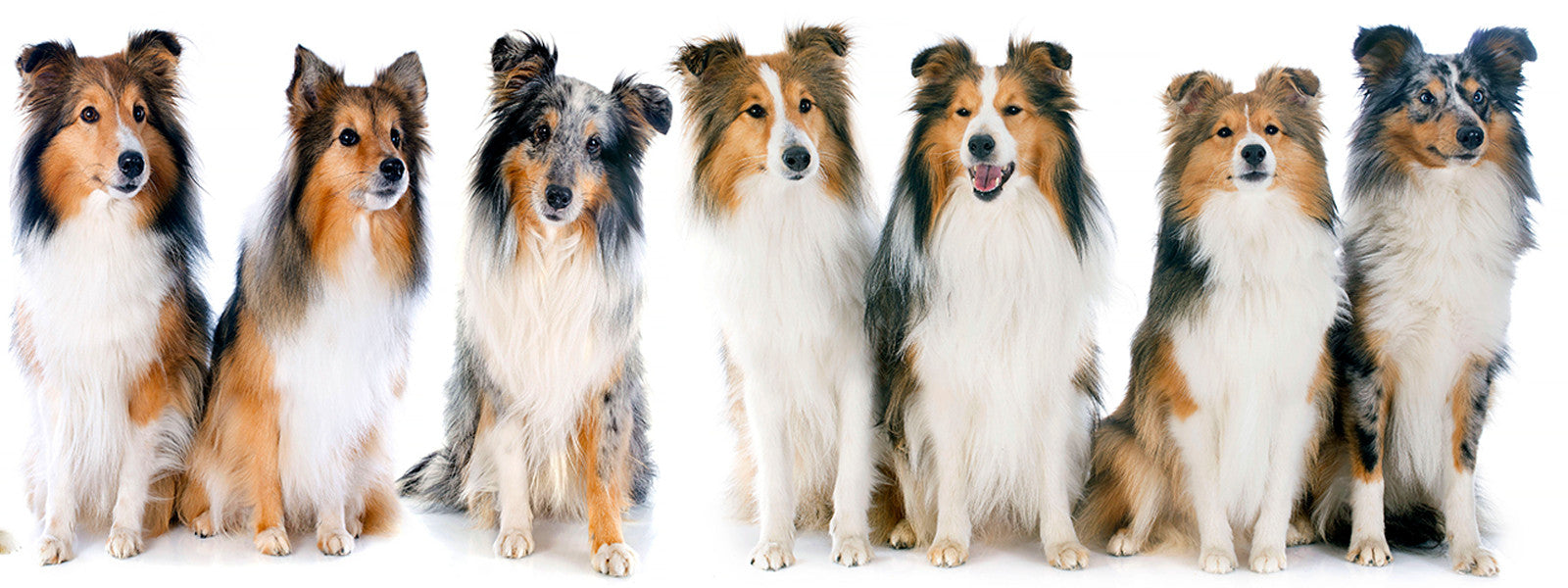 Shetland Sheepdog colors