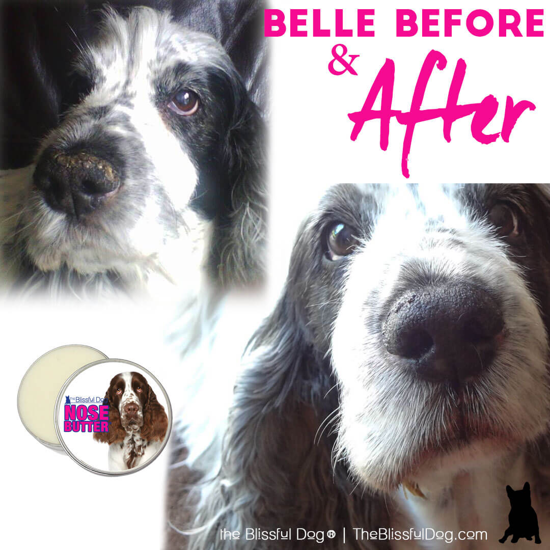 springer spaniel before & after nose butter
