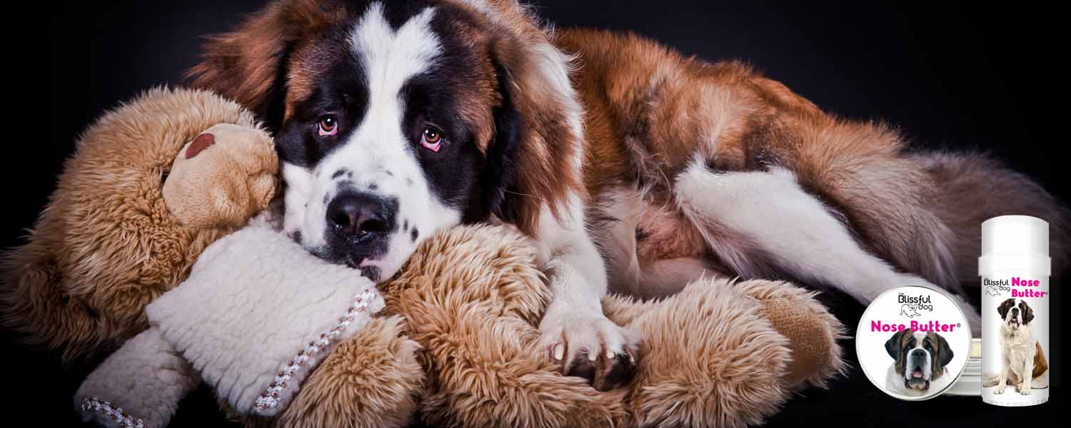 St Bernard dog with toy