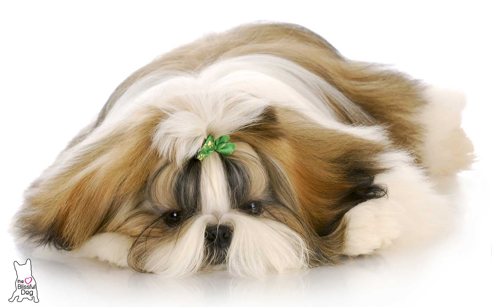 shih tzu puppy afraid