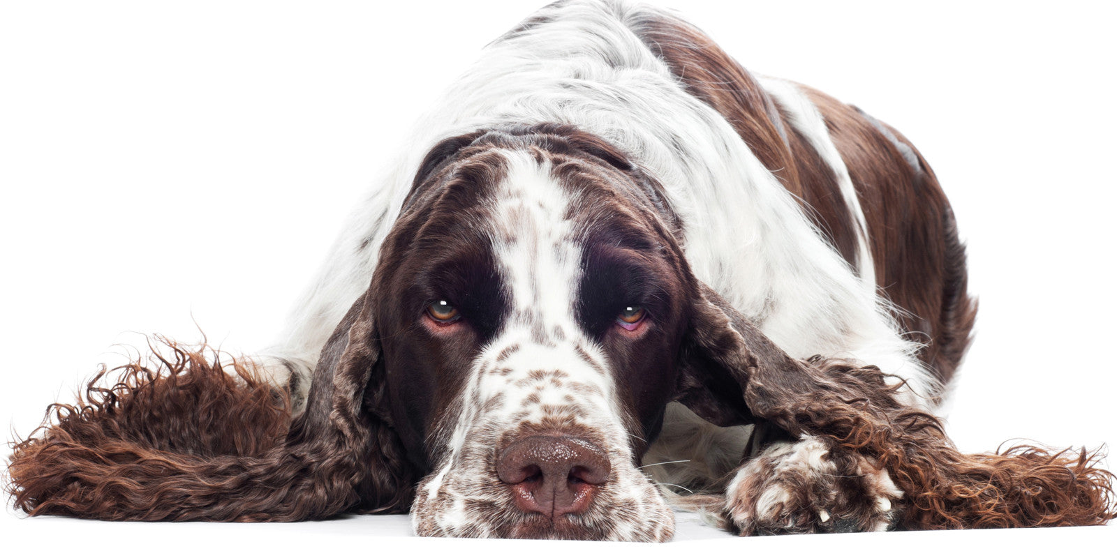 springer spaniel health care