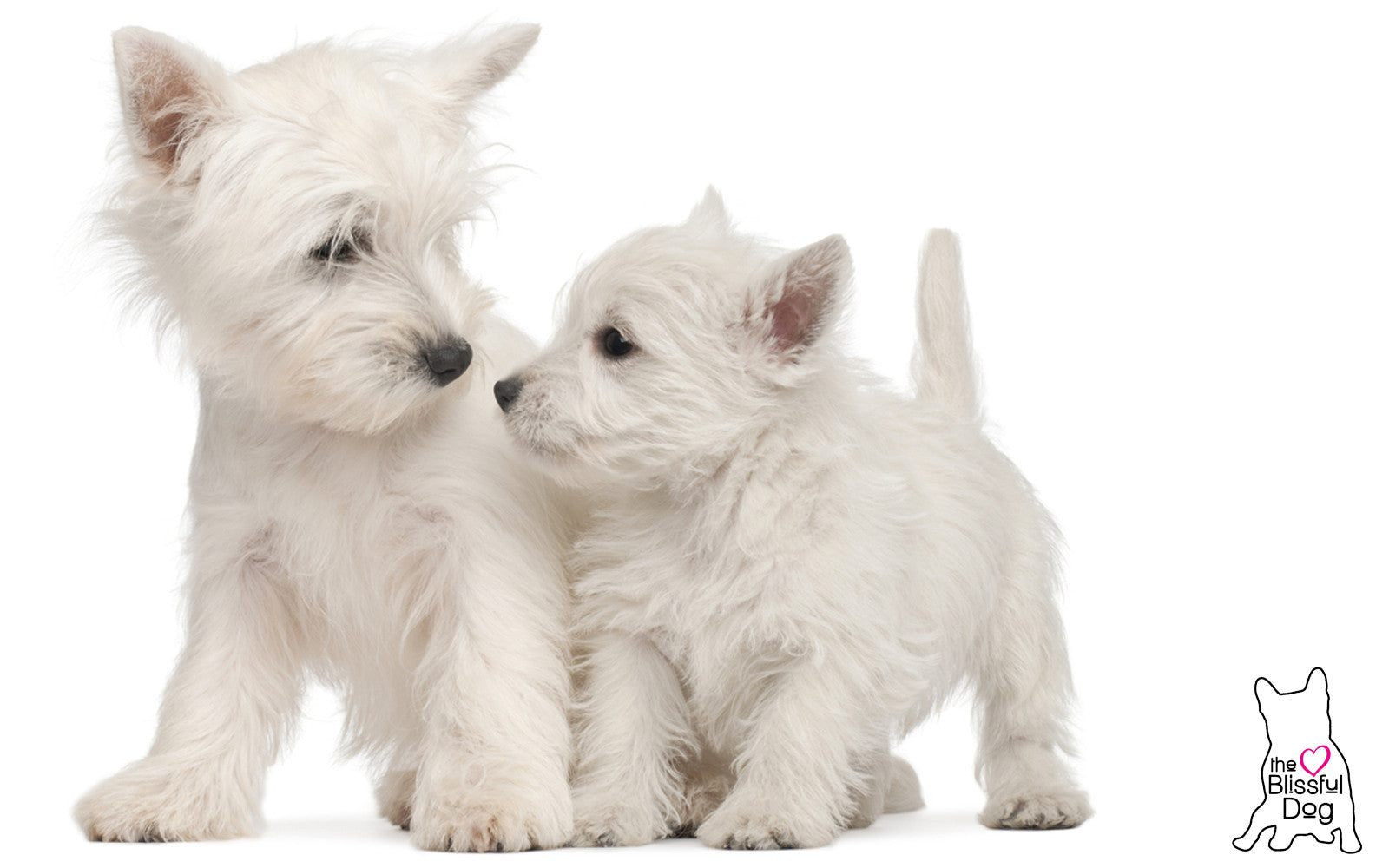 west highland white terrier shop