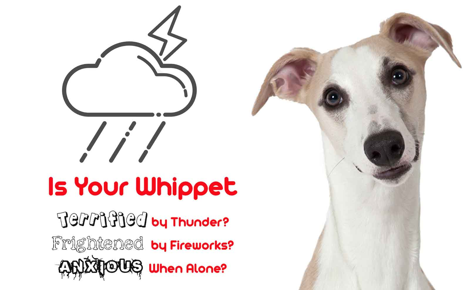 whippet anxiety