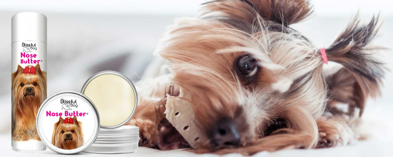 Yorkshire terrier dry nose butter