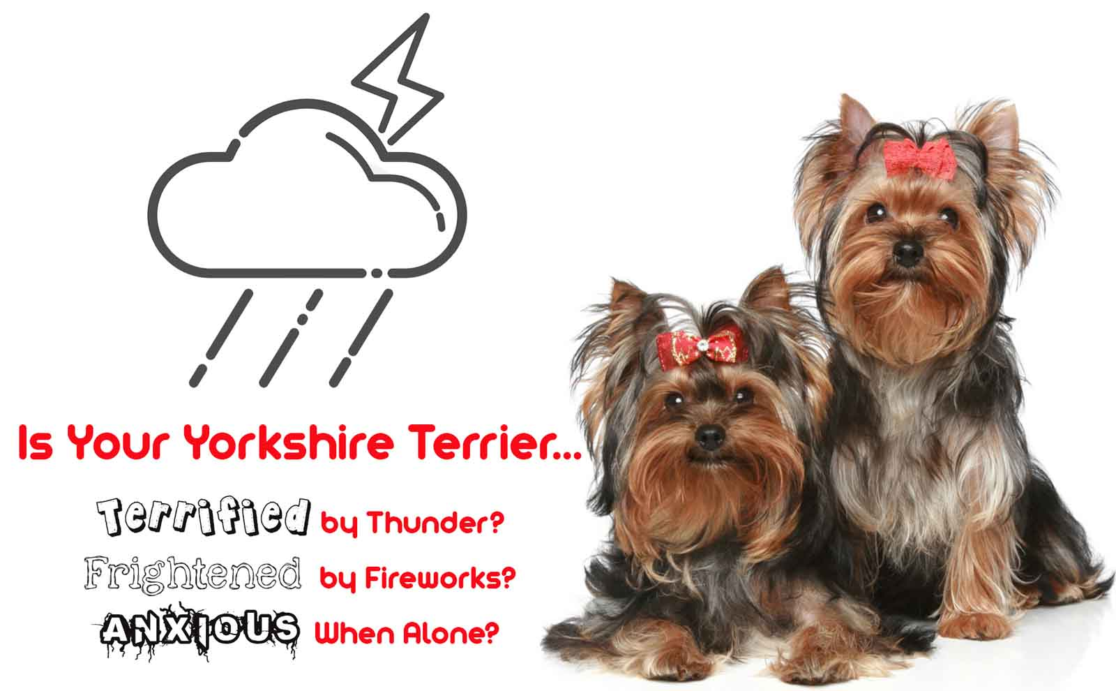 yorkshire terrier anxious