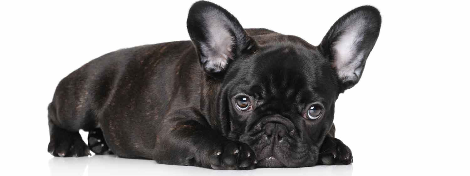 Does Your Brindle French Bulldog Have a Dry Nose? Try Nose