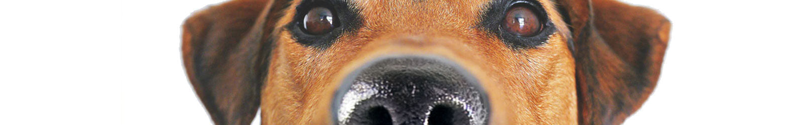 dog nose facts